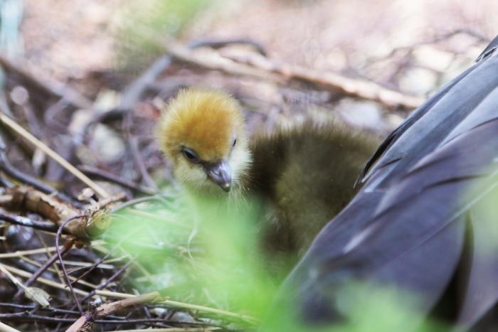 Hoenderkoetkuiken onder moeders vleugels DierenPark Amersfoort © BDU media