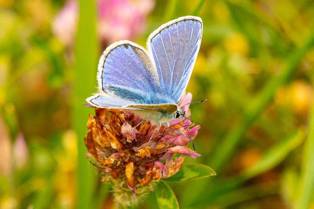 Icarusblauwtje Arie Jan van Termeij © BDU media