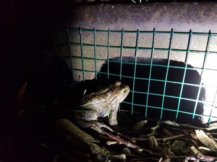Rooster voorkomt dat kikker in rioolput verdwijnt