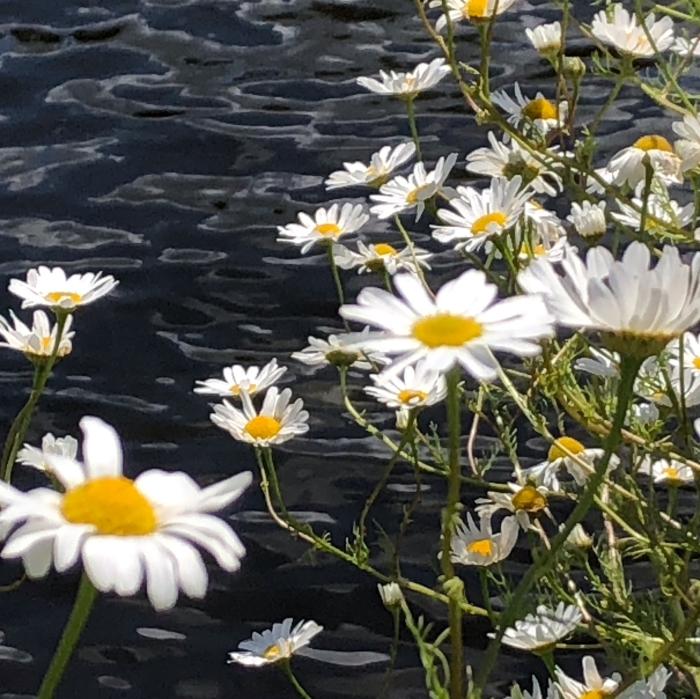 Margrieten aan de waterkant