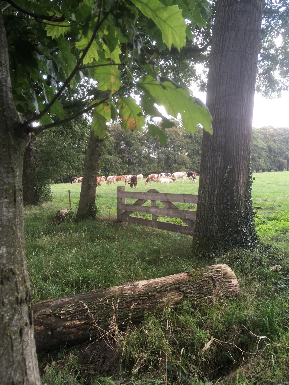 Koeien grazen in het zonnetje bij pannenkoekenhuis Kernhem. Linda van Verseveld © BDU Media