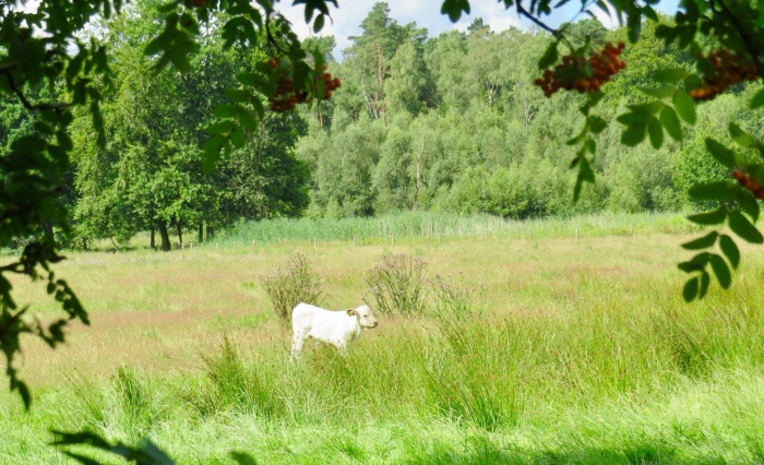 Kalfje op zoek naar de kudde Onno Wijchers © BDU media