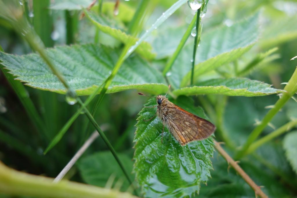 8 juli 2020, Ginkelse heide, Vlindertje in de regen  Deze foto is gemaakt in het natte begin van deze zomer op 8 juli. Ik was met een aantal vrienden in de regen insecten aan het zoeken op de Ginkelse heide en kwam dit dikkopje (een klein vlindersoortje) tegen die voor de regen schuilde onder de bramen. Het is eens wat anders dat de vlinders op bloemetjes, maar natuurlijk zijn de vlinders er ongezien ook nog als het regent.  Hazel van Waijjen © BDU Media
