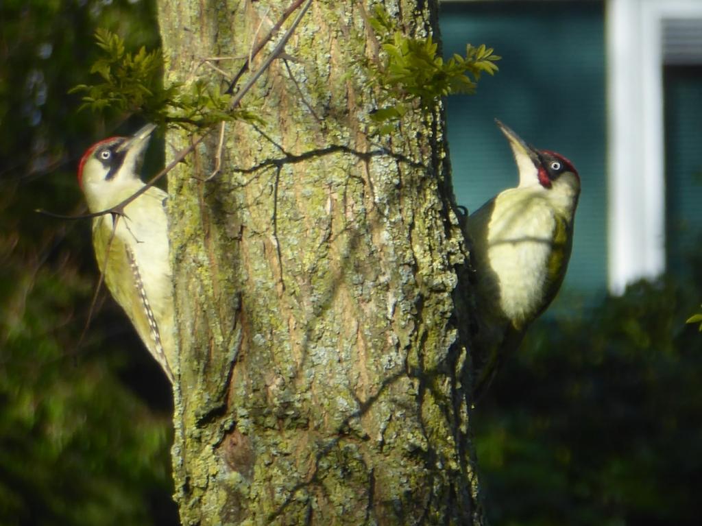 """,,Op 15 april vanaf ons eigen terras: Thuisvakantie door corona werd vogels spotten in cornona-tijd. Heel bijzonder dat ik dit zag en kon vastleggen! Vanwege veel thuisblijven zag ik deze groene spechten, rechts het mannetje en links het vrouwtje. Pal voor mijn neus vanaf ons eigen terras op de boomstam in onze gezamenlijke tuin 'Julianapark' in Ede."""" Wilma Ouwehand-van de Bospoort © BDU Media"""