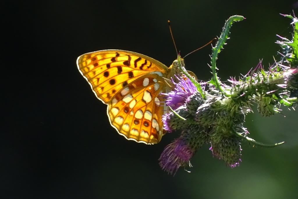 Foto gemaakt in de Jura in Frankrijk. Precies op het moment dat de zon achter de vlinder scheen. Milka Sytsma-Sarfaty © BDU Media