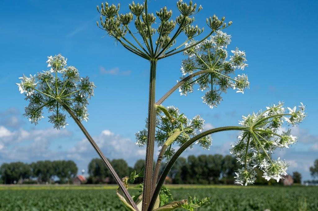 Overal groeien wilde planten. Voor sommigen is het onkruid, voor andere een fraai stukje natuur.  Kees van der Veer © BDU media