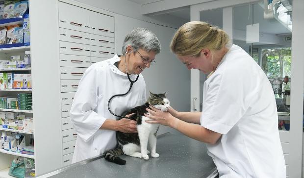 Karen Davidse onderzoekt deze kat in de kliniek.