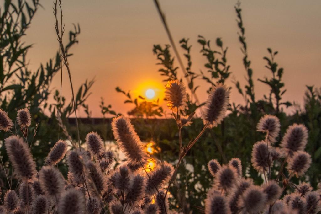 Deze foto is gemaakt bij de vijver in de wijk Kernhem dicht bij de A30. De ondergaande zon met op de voorgrond het hazenpootje. Dick Klein Geltink © BDU Media
