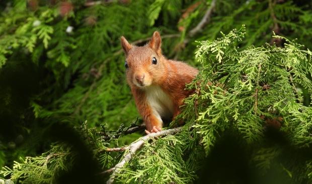 <p>&#39;Het diertje verdween tussen de coniferen, maar stak even later ineens zijn kop tussen de takken door.&#39;</p>