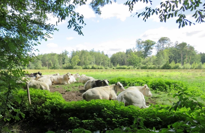 Franse Charolais koeien Onno Wijchers © BDU media