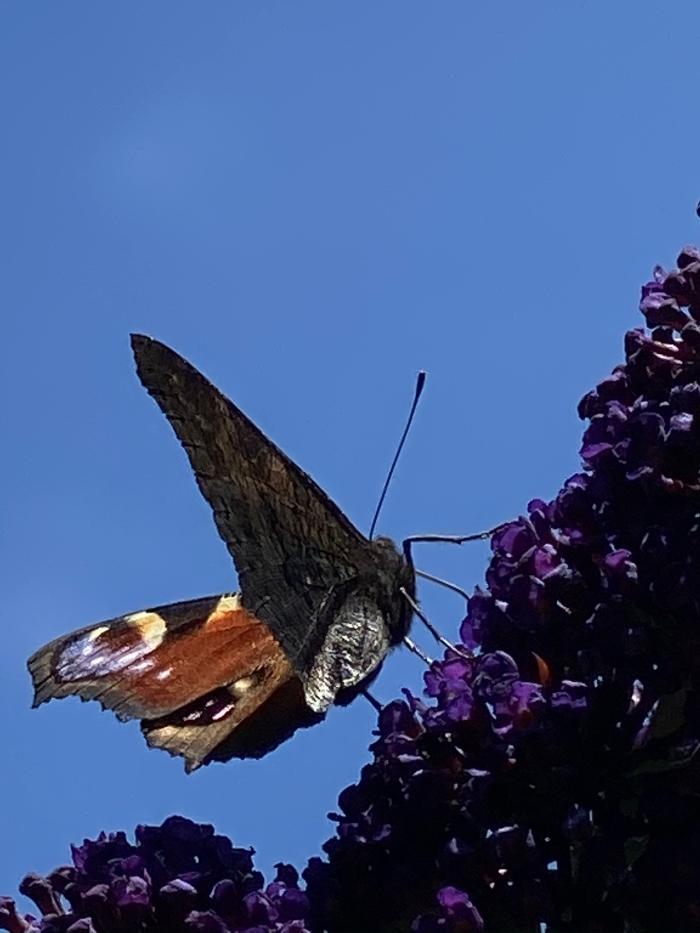 Vlinder op vlinderstruik Hennie Prinsen © BDU media
