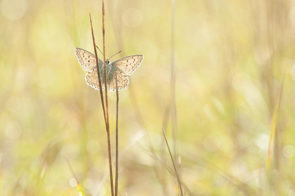"""Foto gemaakt op 16-8-2020 in de Eifel, Duitsland. Bleekblauwtje in het """"gouden"""" ochtend licht. Ina van Lambalgen © BDU Media"""