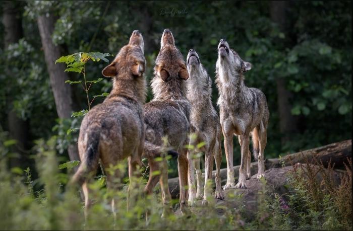 Leer meer over het gedrag van wolven