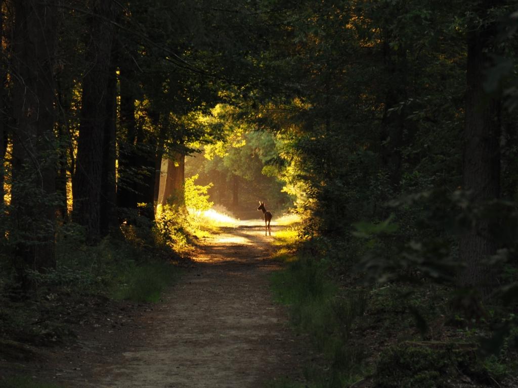 Ree in de avondzon. Foto is genomen op 5 augustus 2020 in het bosgebied de Sijsselt. Jeroen Dekker © BDU Media