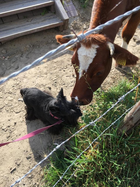 ,,De foto is gemaakt in Numansdorp. Onze hond Coco moet eerst onderzoeken en ontdekken of het echt wel vertrouwd is. Achter de jachthaven van Numansdorp is een wandelgebied waar ook loslopende koeien zijn. Eén koe was super nieuwsgierig en kwam op Coco af. Coco vond deze koe dus niet eng. Samen stonden ze gras te eten... Wiepke van Barneveld © BDU media