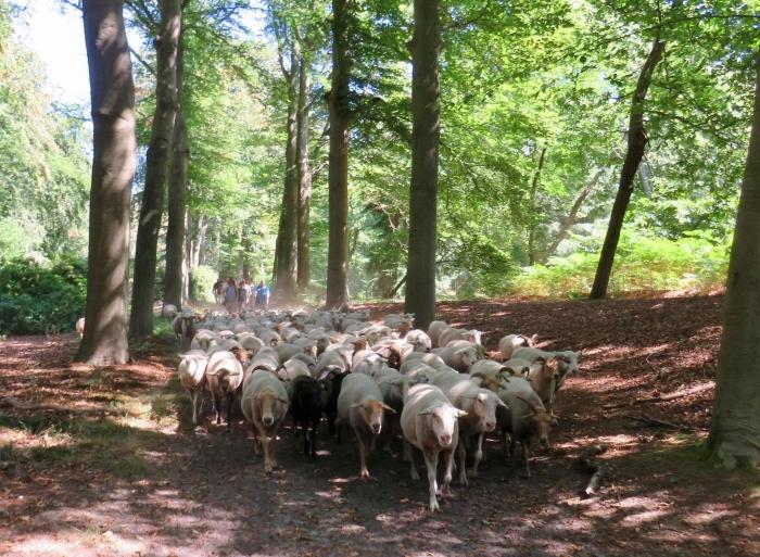De Schapen stuiven door het prachtige, maar droge bos Onno Wijchers © BDU media
