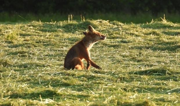 <p>,,Een jochie van een jaar of tien kijkt mee naar de vos die ik ingezoomd in beeld heb.&#39;&#39;</p>