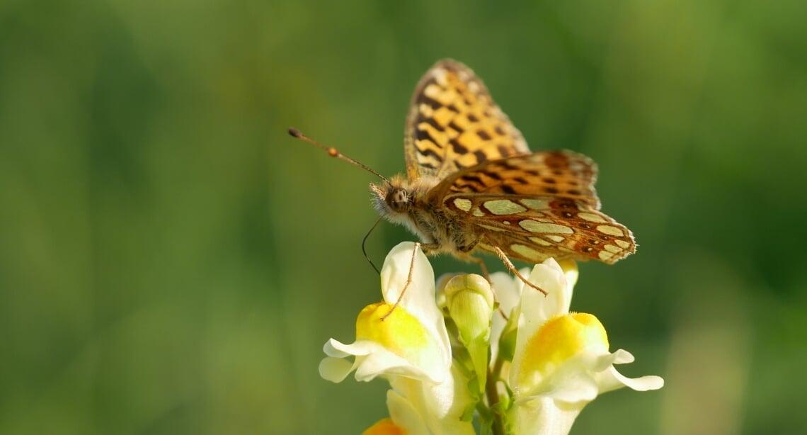 Chrisvan Swaay, De Vlinderstichting