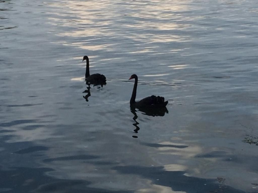 Deze is vrijdag 14 augustus gemaakt aan de Maas in Maashees. Deze zwarte zwanen komen even kijken hoe prachtig we met onze caravan aan het water staan. Ineke Bos © BDU Media
