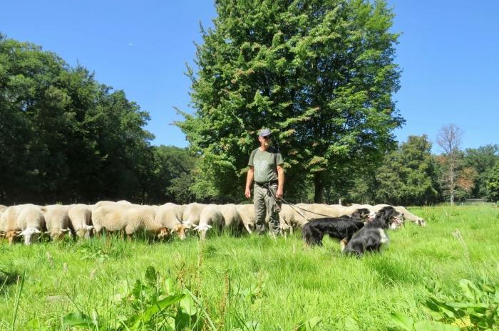 Herder Werner met zijn 3 Honden en de Schapen  Onno Wijchers © BDU media