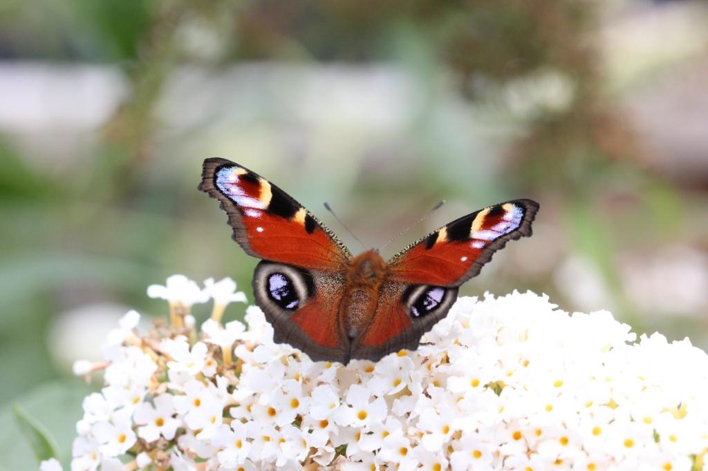 """Claudia van de Broek: ,,Gemaakt op donderdag 20 augustus in eigen achtertuin bij de vlinderstruik van een dagpauwoog.""""  Claudia van de Broek © BDU Media"""