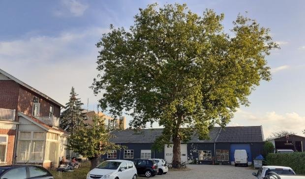 De monumentale boom op het terrein die behouden moet blijven.