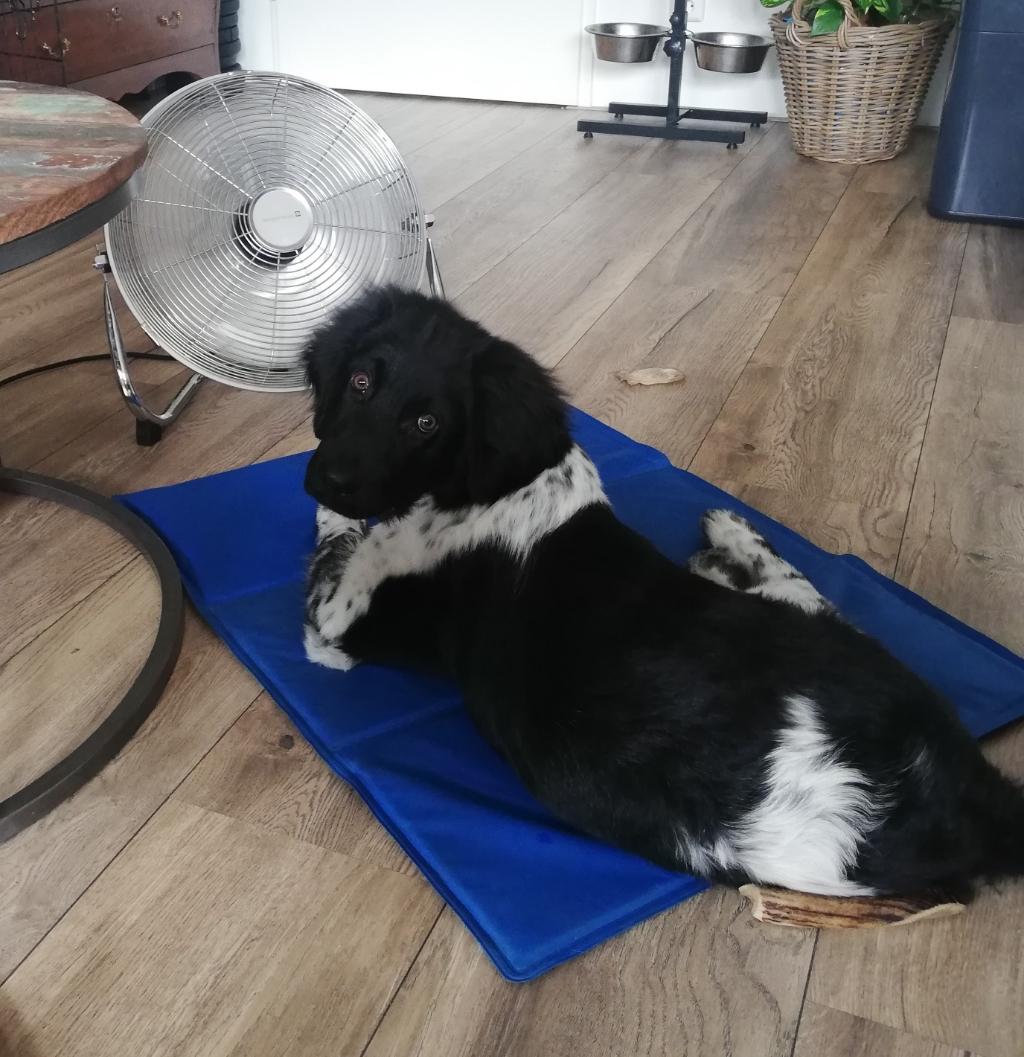 De pup Luca van onze Friese Stabij Poike weet wel waar hij moet gaan liggen met deze hitte van 35 graden. Ede, 11 augustus 2020 Joke Wiebing © BDU Media
