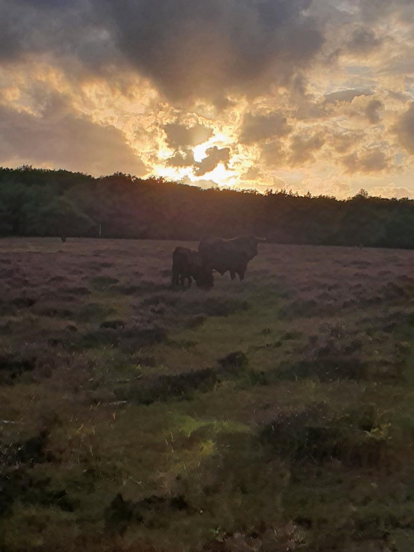 """,,Zaterdagavond 22 augustus gemaakt. Twee wilde stieren in de hei op Mossel bij Otterlo, terwijl de zon ondergaat."""" Heleen Riezebos © BDU Media"""