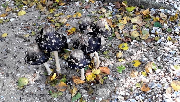 Bijzondere paddenstoelen op het parochiekerkhof.