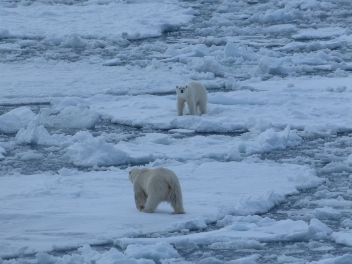 Een foto die de klimaatverandering illustreert: solitair levende ijsberen op Spitsbergen ontmoeten elkaar steeds vaker door verlies van habitat.