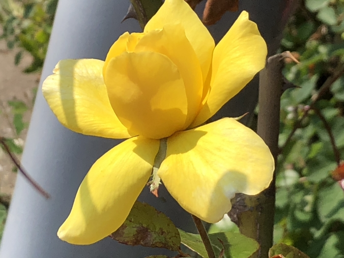 Prachtige roos in de nazomerzon