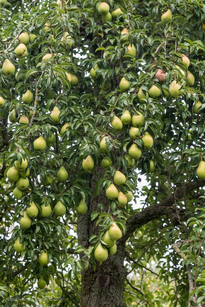 Aan een boom zo vol gehangen, mist men 1 of 2 peren niet René van den Brandt © BDU media