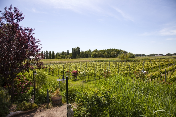 Mediterrane sfeer in Amstelveense wijngaard.