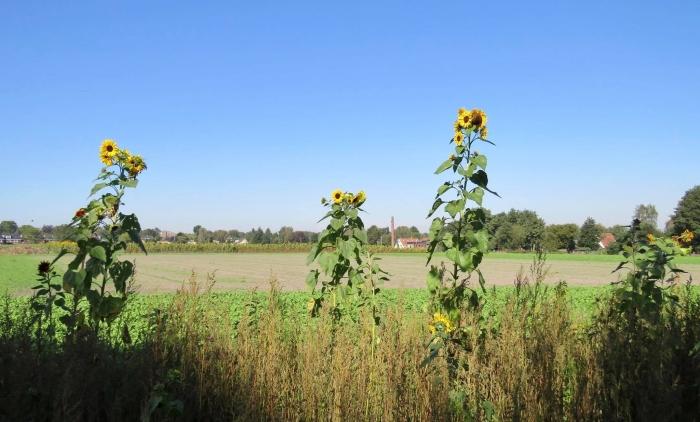 Het Snij-Mais is binnengehaald, de Zonnebloemen hebben het overleefd Onno Wijchers © BDU media