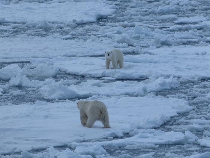 Solitair levende ijsberen op Spitsbergen ontmoeten elkaar steeds vaker door verlies van habitat.
