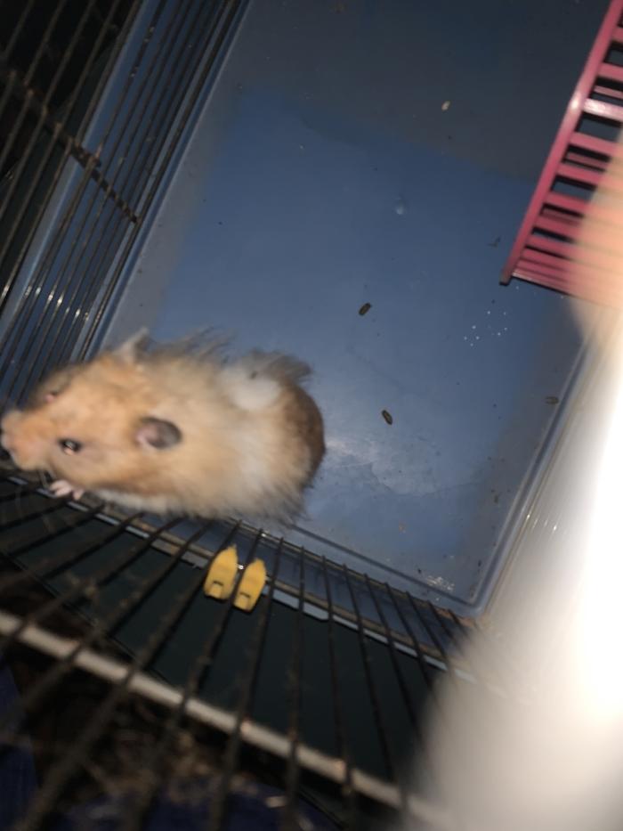 Gevonden hamster Groeneveltstraat Putten