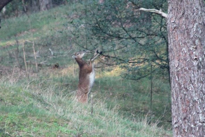 Moeflon eet de blaadjes uit de boom  Elbert Brons © BDU Media