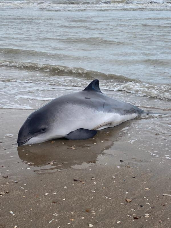 De bruinvis, een volwassen mannetje, toonde tekenen van lichte vermagering. SOS Dolfijn © BDU media