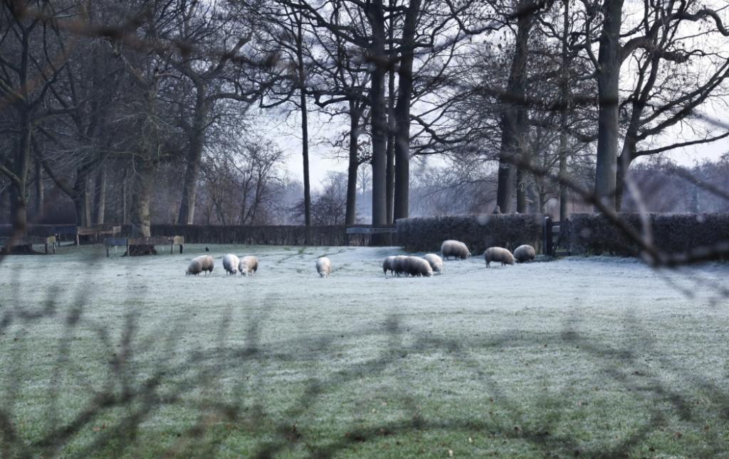 Schapen in het winterse landschap Gemmy Cornetz © BDU media