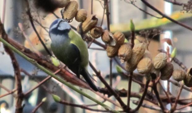 Tuinvogels herkennen: een pimpelmees