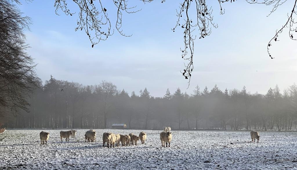 <p>Koeien in een wei aan de 300 Roedenlaan.</p> Baarnsche Courant  © BDU media