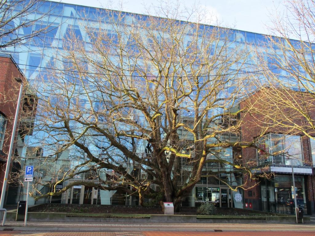 Deze Vleugelnootboom staat in schril contrast met het moderne gebouw van het winkelcentrum in Hoofddorp.  Ruud Meijer © BDU media