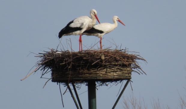 <p>Ooievaars zijn terug op het nest</p>