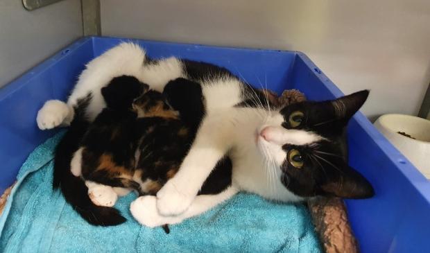 <p>Een van de katten met kittens die een pleeggezin zoeken.</p>
