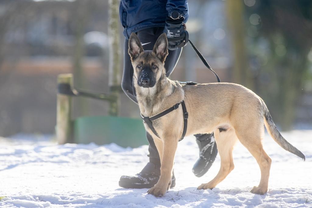 <p>Rocky de herder van Vlaamse afkomst</p> Ted Walker Fotografie © BDU Media
