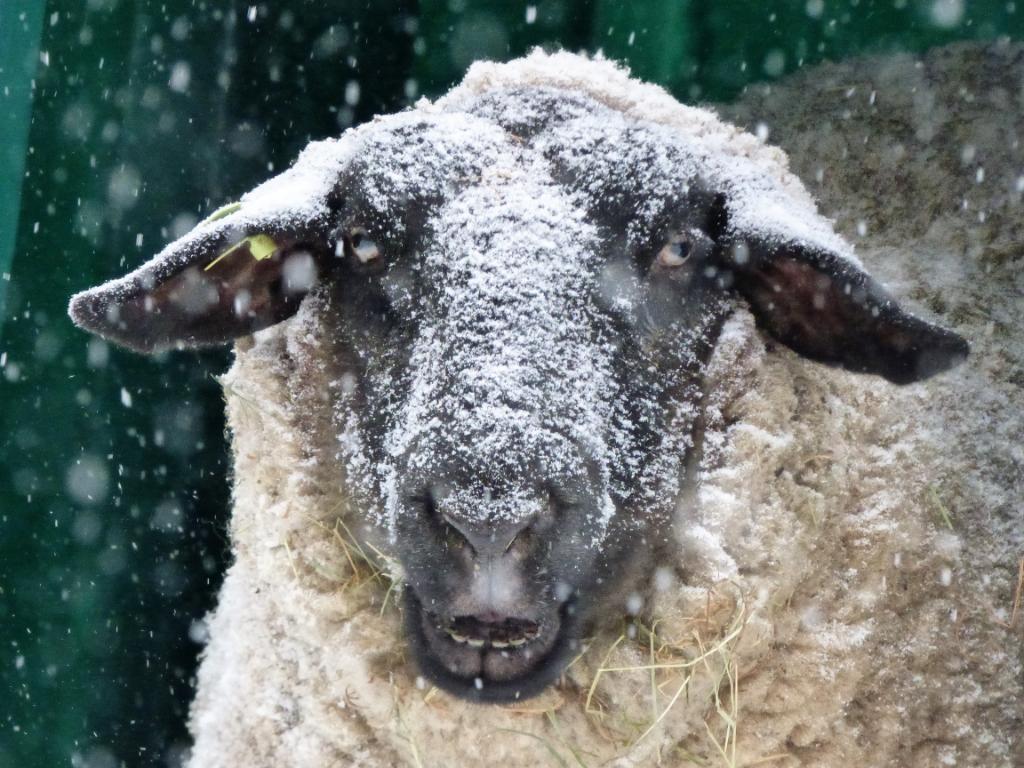 Besneeuwd schaap in Ede Linda Versteegen © BDU Media