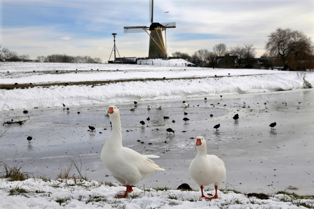 Ganzen bewaken soortgenoten bij de Molen Willem  © BDU media