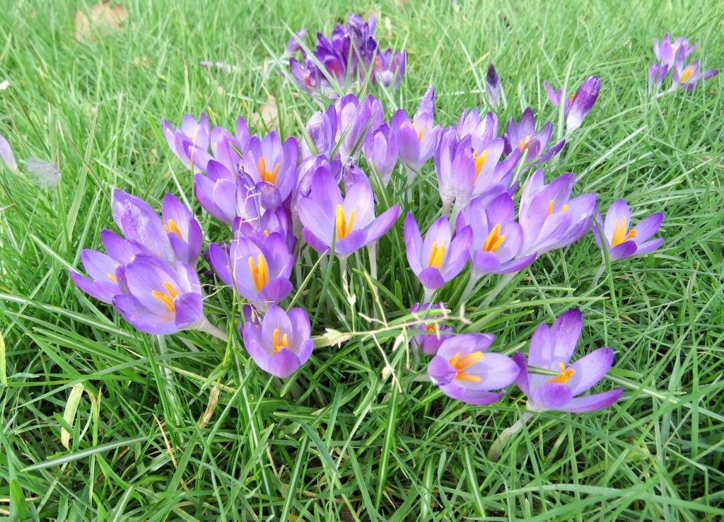 Prachtig Boeketje Krokussen tussen het gras Onno Wijchers © BDU media