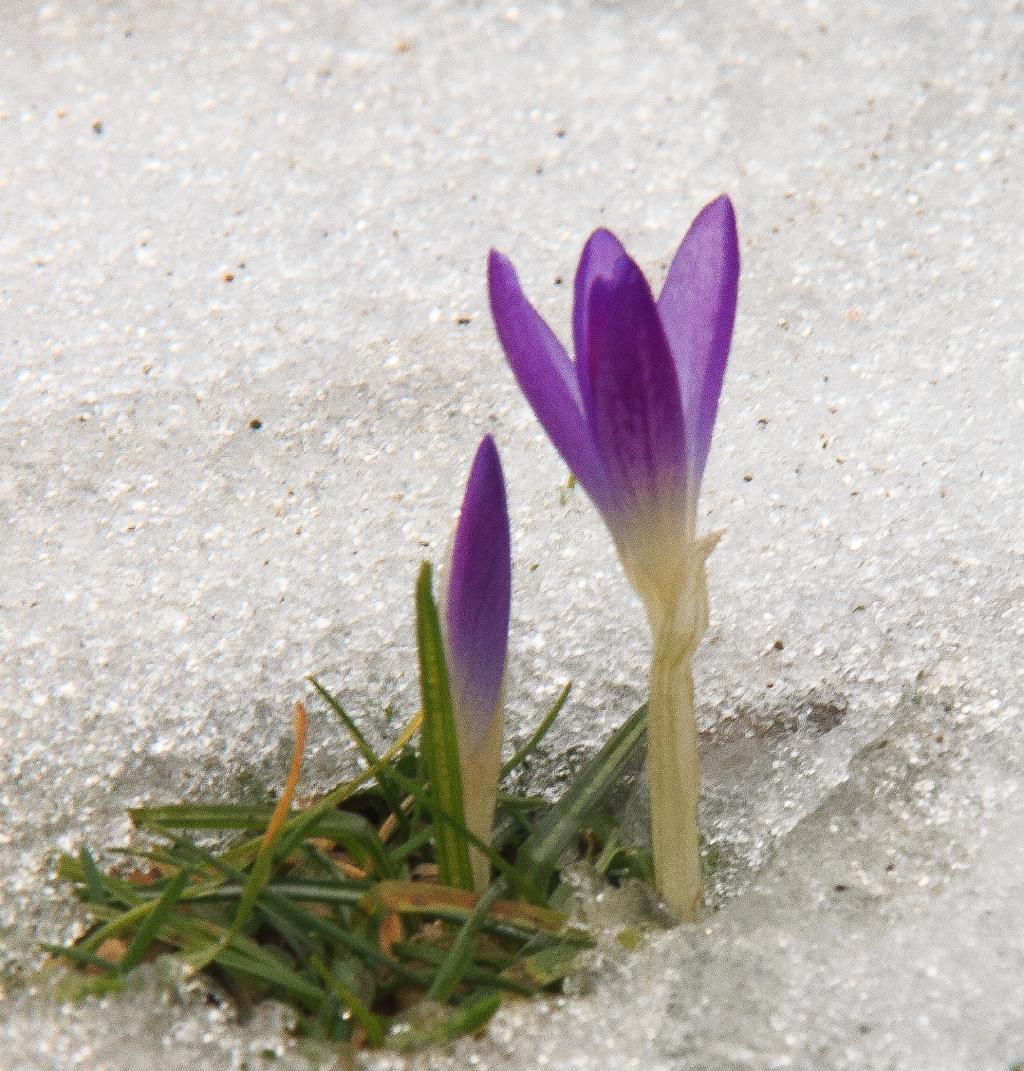 bloeiende krokus in smeltende sneeuw Gerard Weck © BDU