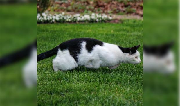 Vermiste kat Hoevelakenseweg Terschuur